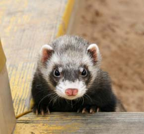Morris County NJ Ferret Veterinarian | Community Animal ...